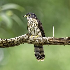 Hawk Cuckoo (Modestus Lorence) Tags: birds hawk cuckoo singapore canon 5dsr 500mmf4isii