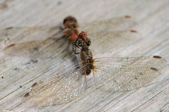 Common Darters... (Mel Low) Tags: dragonfly commondarter wildlife flyinginsect carltonmarshes suffolk uk nikond7000