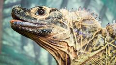 P1150263 (Pursuedbybear) Tags: tarongazoo sydney sydney2016 hydrosauruspustulatus philippinesailfinnedwaterdragon