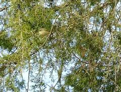 Golden Crowned Kinglet (Corgibird) Tags: birds outdoors hotsprings kinglet wildbirds goldencrownkinglet