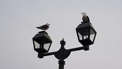 DSC05198 () Tags: hokkaido seagull otaru