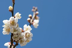 Plum blossom (RenField - Toel-ul Laputa) Tags: blue sky flower macro nature japan spring nikon blossom plum sigma      kumamoto     105mm    hitoyoshi  d800e