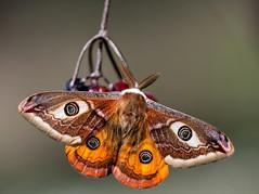 Saturnia pavonia (Charaxes14) Tags: moth saturnia pavonia saturniidae biatorbgy