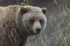 bear grizz denalinationalpark gregoryslobirdrsmith grizzlybearursusarctosssp naturalistjourneyscom instagramslobirdr