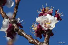 Floral 2015 5/5 (*Alphotos) Tags: flores macro murcia rbol almendro jumilla alphotos