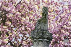 Bonn-Kirschbluete-12 (kurvenalbn) Tags: deutschland bonn pflanzen blumen nordrheinwestfalen frhling kirschbluete