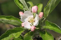 Flor del manzano (wow_wa_cow) Tags: parque flower tree apple natural flor rbol redes manzano caso caleao casu caliao