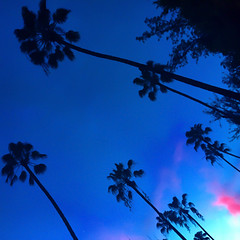Palm Trees at Magic Hour - Beverly Hills, CA (ChrisGoldNY) Tags: california trees sky tree silhouette skyline losangeles forsale palm southern albumcover beverlyhills bookcover magichour bookcovers albumcovers licensing chrisgoldny chrisgoldberg chrisgold chrisgoldphoto chrisgoldphotos