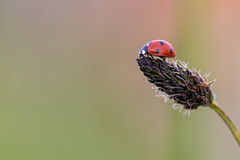 Hiking to the summit. (SweeP_64) Tags: macro nature hiking summit ladybug cyrille coccinelle masseys proxi 6ril