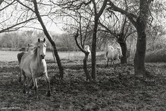 le chant des Camargue (laety.lets) Tags: nature cheval blackwhite anges camargue blancs canon7d laetylets