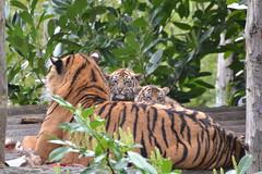 DSC_4215 - Sumatran Tigers (102er) Tags: uk nature animal animals fauna zoo nikon wildlife tiger chester sumatrantiger tamron sumatran
