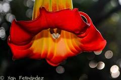 datura-1 (xanfer) Tags: flores datura valdoviño ofondal