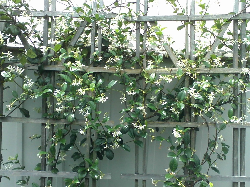 Image result for Jasmine trellis