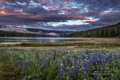 Lupine Sunset at Bass Lake (Darvin Atkeson) Tags: california flowers lake mountains reflection fog forest town glow nevada small shoreline sierra resort pines shore drought wildflowers forks lupine basslake illuminate 2015 darvin darv lynneal yosemitelandscapescom