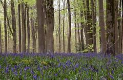 Bluebell wood (stevenab62) Tags: blue tree nature spring bell beech