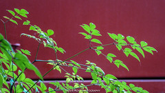 Heavenly Bamboo (Theen ...) Tags: red green garden lumix fire office bed stem cabinet foliage adelaide backlit nandinadomestica heavenlybamboo southterrace theen