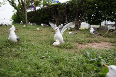 (GenJapan1986) Tags: 2015          japan aomori nikond610 bird gull distagont225 zf2 shrine carlzeiss