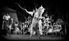 Klinsmann Moreira (Eduardo Amorim) Tags: gacho gachos gaucho gauchos cavalos caballos horses chevaux cavalli pferde caballo horse cheval cavallo pferd crioulo criollo crioulos criollos cavalocrioulo cavaloscrioulos caballocriollo caballoscriollos pampa campanha fronteira dompedrito riograndedosul brsil brasil sudamrica sdamerika suramrica amricadosul southamerica amriquedusud americameridionale amricadelsur americadelsud cavalo         hst hest hevonen  brazil eduardoamorim jineteada gineteada