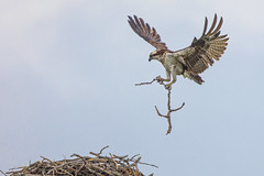 Home reinforcements (Peter Stahl Photography) Tags: osprey nest sticks branches
