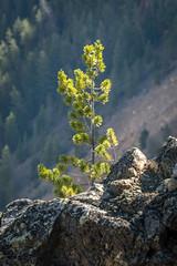 Lone Pine Seedling (HubbleColor {Zolt}) Tags: tree travel yellowstonenationalpark pine wy wyoming