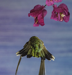 Hummingbird Locked On Target (Bill Gracey) Tags: calypteanna hummingbird hummer fleur flor aerialmaneuver annashummingbird poway paintedbackdrop offcameraflash flowers flores avianphotography nature naturephotography yn560iii yn560 yn560ii yongnuorf603n manualmode bif birdinflight feeding sharp detail clarity bougainvillea