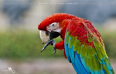 Red-and-Green Macaw (creati.vince) Tags: shanghaiwildanimalpark avian bird birding china creativince lake pudong shanghai macaw