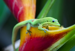Gold Dust Day Gecko (M. Kamran Meyer) Tags: gecko lizard tropical reptile hawaii gold dust day phelsuma laticauda flower flowers banana blossom green scale scales scaly animal feet eye pebbled pebbly sticky