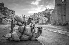 Need a lift? (Robert Moranelli) Tags: road turkey camels tr nevehir gremebelediyesi