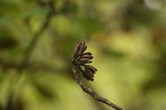 Rhododendron cinnabarinum Hook. f. (5) (siddarth.machado) Tags: rhododendron northsikkim himalayanflora 3000msl