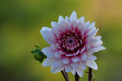 My Dahlia collection # 50 (Dahlia Rebecca's World) (natureloving) Tags: flower macro nature nikon d90 afsvrmicronikkor105mmf28gifed natureloving flowersinfrance flowersineurope fleursenfrance dahliarebeccasworld