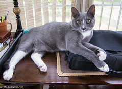 """""""I'd like to see what you're saying about me on Facebook. But I can't get the laptop out of the case. I just can't figure out zippers."""" (Jim Frazier) Tags: copyright july 2016 summer jimfraziercom jim frazier closeup illinois il elgin kane kanecounty ansel fauna animals mammals pets cats"""
