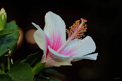 Hibiscus A (Franco Gavioli) Tags: flower macro hibiscus sicily augusta fiore sicilia francesco ibisco gavioli canonef100mmf28macrousm fragavio canoneos600d yongnuoyn568exiiettl