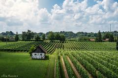 Vineyard At It's Best (HluShoot) Tags: travel blue house green nature beautiful field grass landscape vineyard relaxing croatia vine adventure grape podravina đurđevac