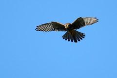 faucon crcerelle ( Falco tinnunculus ) Erdeven 160718c2 (pap alain) Tags: france bretagne morbihan oiseaux falcotinnunculus lesserkestrel erdeven rapaces fauconcrcerelle falconids