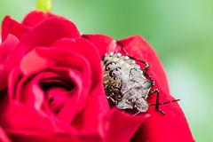 Die Rose und die Wanze - The rose and the bug (ralfkai41) Tags: rose schieldbug pflanze insekt blossom blte blume outdoor schildwanze natur kfer makro plant macro scutelleridae bugs flower nature