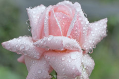 (Fay2603) Tags: outdoor blte blossom blume flower pflanze plant rose rosa rose light licht tropfen drops waterdrops wassertropfen nass wet green hellgrn pastell fuji xt1