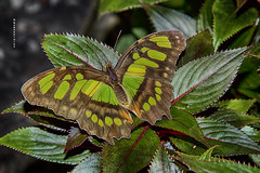 Malachite (Gypsy Flores Photography) Tags: insect butterfly malachite siproetastelenes catawbasciencecenter hickory nymphalidae brushfootedbutterfly northcarolina
