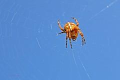 Kreuzspinne 3 (DianaFE) Tags: dianafe insekt spinne tiefenschrfe schrfentiefe makro freihandmakro