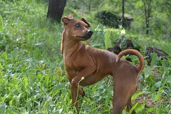 Lola (My Life With Lola) Tags: dog dogs nature photography miniature woods nikon pin canine min pinscher d3200 nikonphotography