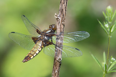 Broad-bodied Chaser (Tim Melling) Tags: libellula depressa broadbodied chaser dragonfly odonata thunderbridge west yorkshire timmelling