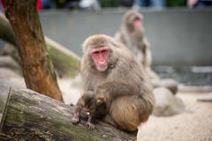 2016-07-16-16h10m12.BL7R0662 (A.J. Haverkamp) Tags: canonef100400mmf4556lisiiusmlens amsterdam zoo dierentuin httpwwwartisnl artis thenetherlands japansemakaak japanesemacaque dob09062016 pobamsterdamthenetherlands