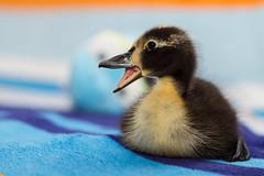 Charly (suki1801) Tags: charly duck ente laufente indianrunner babyduck canon7d babyente kken entenkken austria styria sterreich steiermark