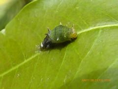 P1490139 (Nagdarshan) Tags: molting caterpillar
