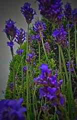 lavender 2 (ajtodd1) Tags: plant lavender flowers garden natural nature