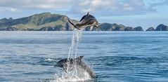 Jump ! (Kiwi-Steve) Tags: nz newzealand northisland bayofislands dolphin bottlenoseddolphin nature landscape nikond90 nikon jump