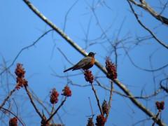 Robin in sumac tree (b_sisko) Tags: sumac robin