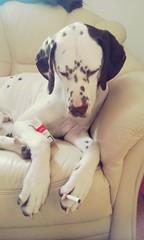 Smoking dog (missschokoholic) Tags: indoor aiden farbe color bunt hund perro dog cane dalmatiner dalmatian dalmata zigarette cigaret fumare smoking rauchen kippen schachtel handy smartphone