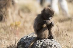 Etiopien - Simienbergen (Göran Höglund (Kartläsarn)) Tags: gelada babianer baboons lejonapa bleedingheartmoney simienbergen simien montain göranhöglund kartläsarn kartlasarn d800 nikon etiopien ethiopia rosabussarna rosa bussarna 2014 pinkcaravan