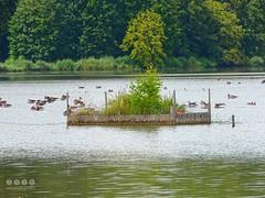 Günz -der Fluss >  Am Oberegger Stausee / Bayerisch Schwaben in Süddeutschland - Günz -der River> Au barrage d'Oberegger / Souabe bavaroise dans le sud de l'Allemagne (warata) Tags: 2016 deutschland germany süddeutschland southerngermany schwaben swabia oberschwaben upperswabia schwäbischesoberland bayern bayerischschwaben günz fluss river landschaft landscape stausee lake see günzstausee obereggerstausee naturschutzgebiet nsg wasservögel gans graugans