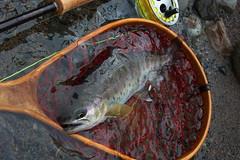 Yamame DSC_2953 (touhenboku) Tags: yamame    fly flyfishing
